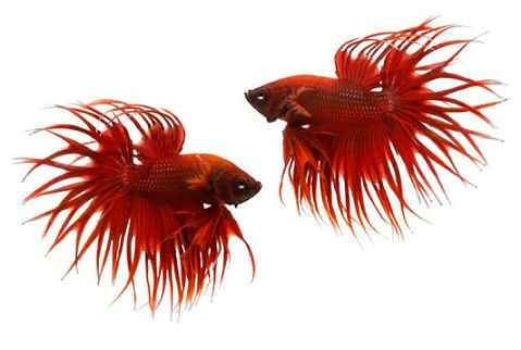 Betta Fish Care Important Rules