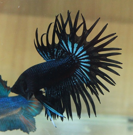 Betta Fish Care – How to Care For Betta Fish